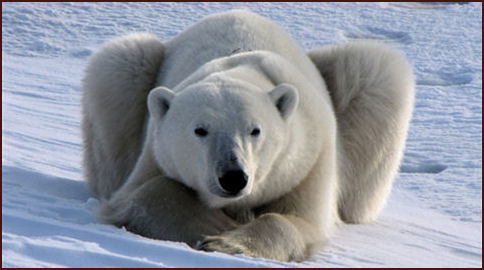 wildlife photos - Polar Bear, Churchill, Canada